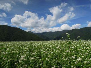 夏空と山間地のそば畑